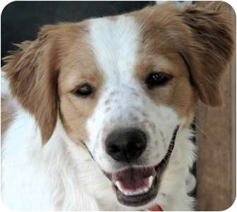 Brittany/Spaniel (Unknown Type) Mix Dog for adoption in Phoenix, Arizona - Ember
