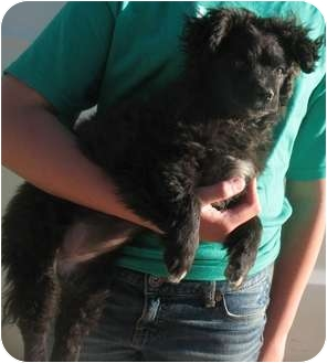 Poodle (Miniature)/Terrier (Unknown Type, Small) Mix Puppy for adoption in Corona, California - JEWEL