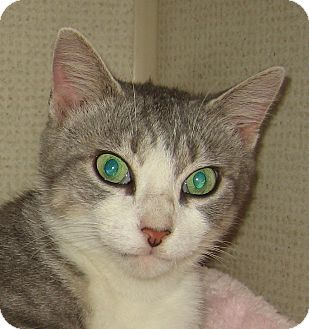 Domestic Shorthair Kitten for adoption in Hamilton, New Jersey - CHESHIRE-2012