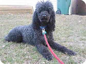 Standard Poodle Dog for adoption in Whiting, Indiana - Lucky