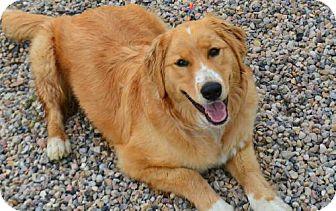 Golden Retriever/Labrador Retriever Mix Puppy for adoption in Fruit Heights, Utah - Ruby