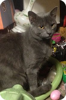 Domestic Shorthair Cat for adoption in Knoxville, Tennessee - Boyfriend