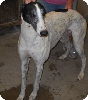Greyhound Dog for adoption in Knoxville, Tennessee - Oak's Jackson