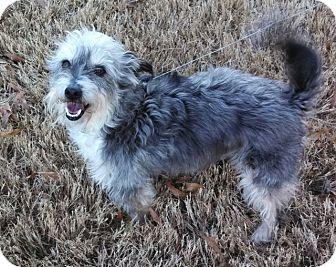 Schnauzer (Standard)/Fox Terrier (Smooth) Mix Dog for adoption in Nanuet, New York - Duke