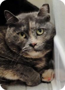 Calico Cat for adoption in Medford, Massachusetts - Tessa