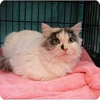 Adopt A Pet :: Crickett - Beverly Hills, CA