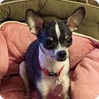 Adopt A Pet :: Zuri - Shawnee Mission, KS