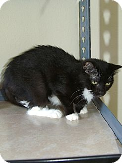 Domestic Shorthair Cat for adoption in Englewood, Florida - Snookums