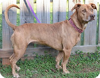 American Bulldog/Dachshund Mix Dog for adoption in North Wales, Pennsylvania - Jade