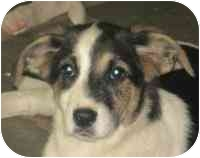 Australian Shepherd Mix Puppy for adoption in Cairo, New York - Tammy