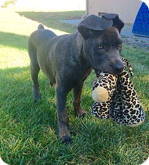 Great Dane/Boxer Mix Puppy for adoption in Santa Barbara, California - Willow