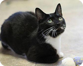 Domestic Shorthair Cat for adoption in Winston-Salem, North Carolina - Penny