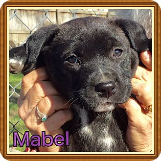 Labrador Retriever/Mountain Cur Mix Puppy for adoption in Cranford, New Jersey - Mabel