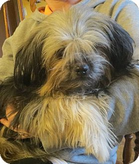 Lhasa Apso Puppy for adoption in Salem, New Hampshire - April