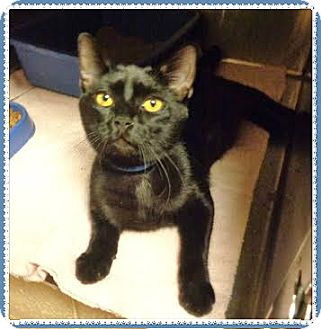 Domestic Mediumhair Cat for adoption in Marietta, Georgia - MICKEY (R)