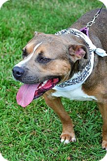 American Pit Bull Terrier Mix Dog for adoption in Albemarle, North Carolina - Lucas