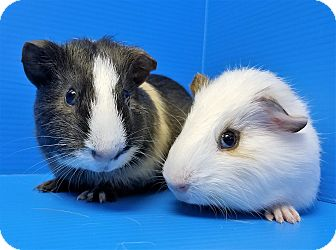 Guinea Pig for adoption in Lewisville, Texas - Waffles and Pofflet