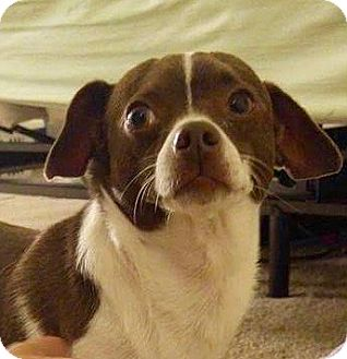 Jack Russell Terrier/Chihuahua Mix Dog for adoption in Hockessin, Delaware - Colby