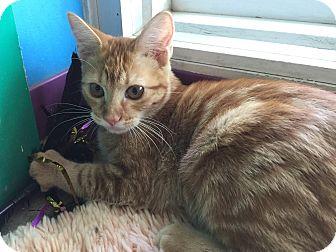 Domestic Shorthair Cat for adoption in Topeka, Kansas - Geneva
