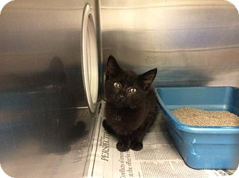 Domestic Shorthair Kitten for adoption in Janesville, Wisconsin - Dustin
