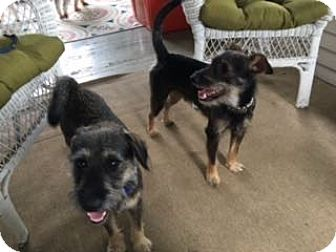 Miniature Schnauzer/Terrier (Unknown Type, Small) Mix Dog for adoption in Sharonville, Ohio - Quentin and Carter
