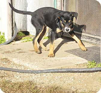 Shepherd (Unknown Type) Mix Puppy for adoption in Sedan, Kansas - Harley