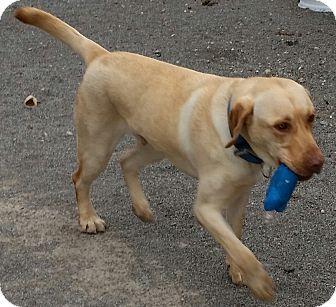 Labrador Retriever Dog for adoption in Urbana, Ohio - Max-A-Million