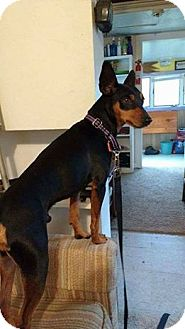 Miniature Pinscher Mix Dog for adoption in New York, New York - Roscoe