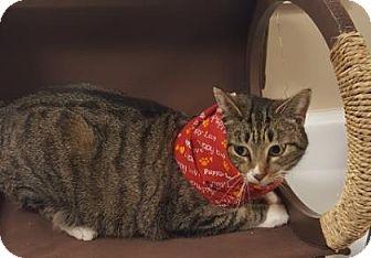 Domestic Shorthair Cat for adoption in Americus, Georgia - Dotty
