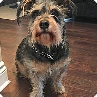 Adopt A Pet :: Buddy - Rigaud, QC