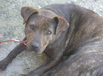 Labrador Retriever/Plott Hound Mix Dog for adoption in Jacksonville, Texas - Alicia