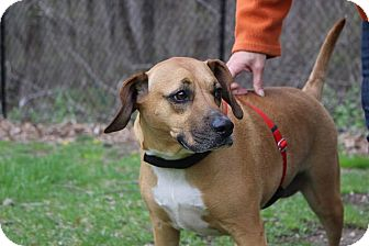Beagle/Coonhound Mix Dog for adoption in Sparta, New Jersey - Holly