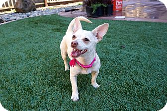 Chihuahua Mix Dog for adoption in Gilroy, California - Ronda