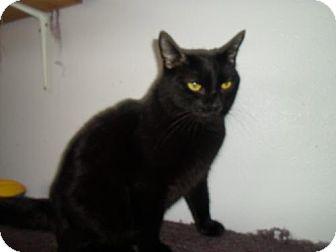 Bombay Cat for adoption in Montello, Wisconsin - Max