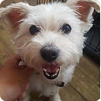 Adopt A Pet :: Powder Puff/Adoption PENDING - Hillside, IL