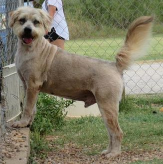 Terrier (Unknown Type, Small) Mix Dog for adoption in Wichita Falls, Texas - Willy