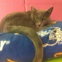 Adopt A Pet :: Tashi - Cumming, GA