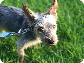 Yorkie, Yorkshire Terrier Mix Dog for adoption in King City, Ontario - Prince