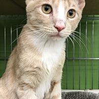 Adopt A Pet :: Gabriel - Devon, PA