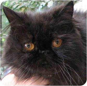 Persian Cat for adoption in Davis, California - Rain