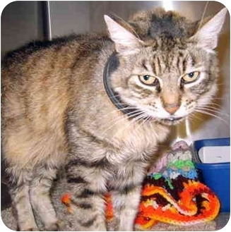 Domestic Mediumhair Cat for adoption in Grass Valley, California - Ziggy