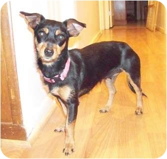 Dachshund Mix Dog for adoption in White Settlement, Texas - Isabell