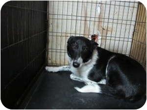 Border Collie Mix Dog for adoption in Overland Park, Kansas - GRETA