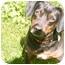 Photo 1 - Beagle/Dachshund Mix Dog for adoption in New Fairfield, Connecticut - Abby