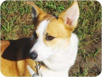 Corgi Dog for adoption in Jacksonville, Florida - Dollar