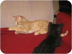 Domestic Shorthair Kitten for adoption in High Ridge, Missouri - Cheeto