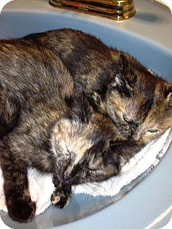 Domestic Shorthair Kitten for adoption in Westfield, Massachusetts - Two Sisters