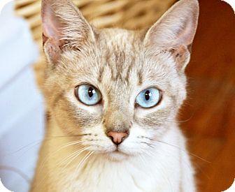 Siamese Cat for adoption in Chicago, Illinois - Winnie