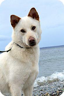 Husky Mix Dog for adoption in Bellingham, Washington - Chance