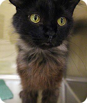 Domestic Mediumhair Cat for adoption in Worcester, Massachusetts - Brandy